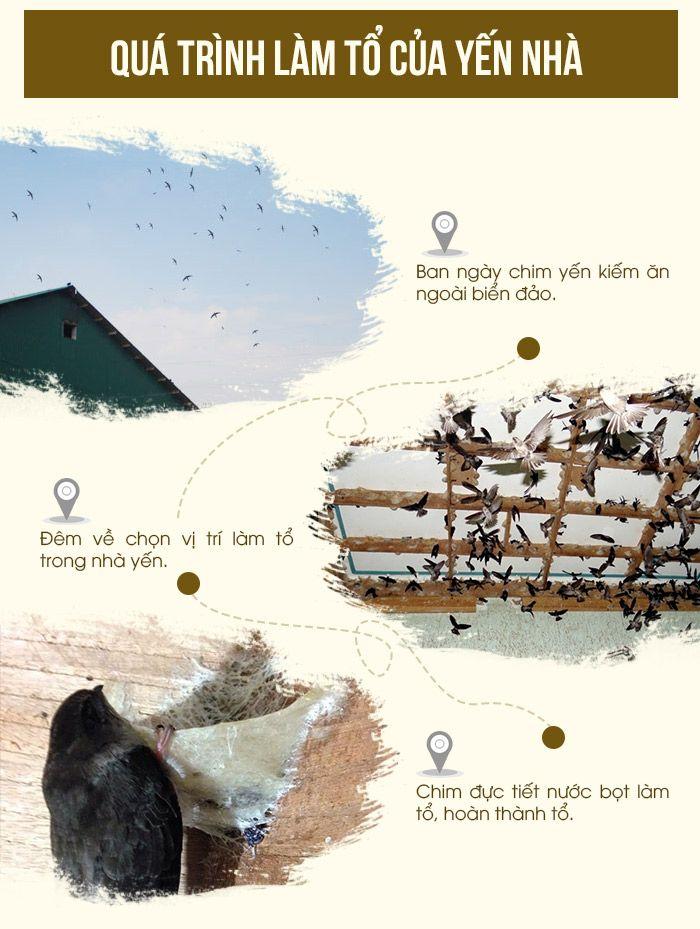 Quá trình làm tổ của chim yến nhà